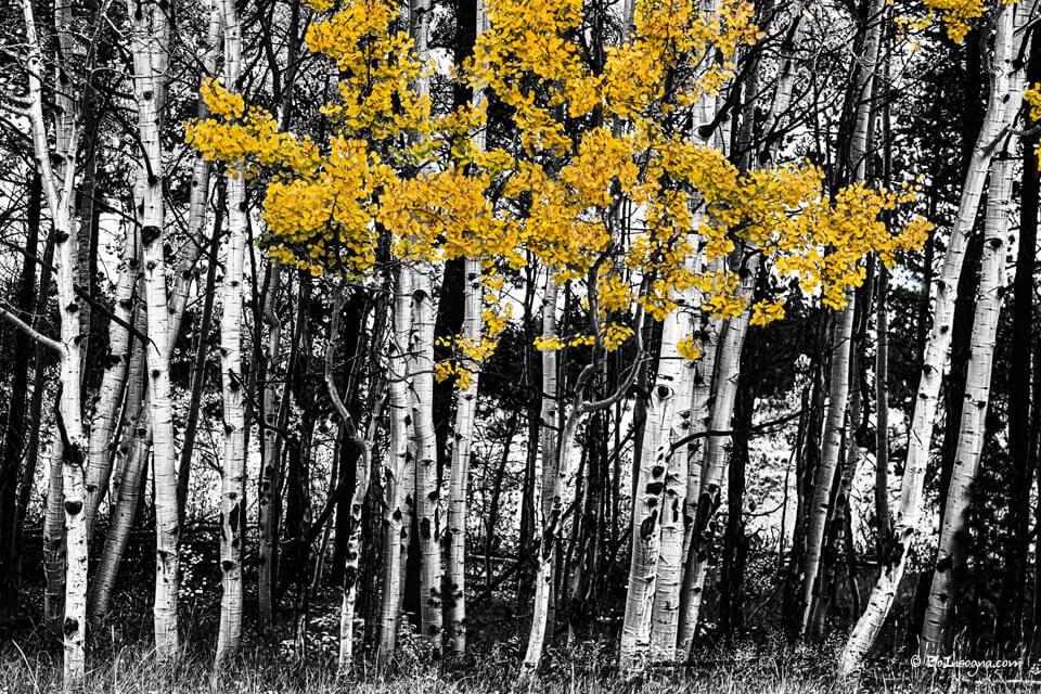 Aspen Touch of Color fine Art Print