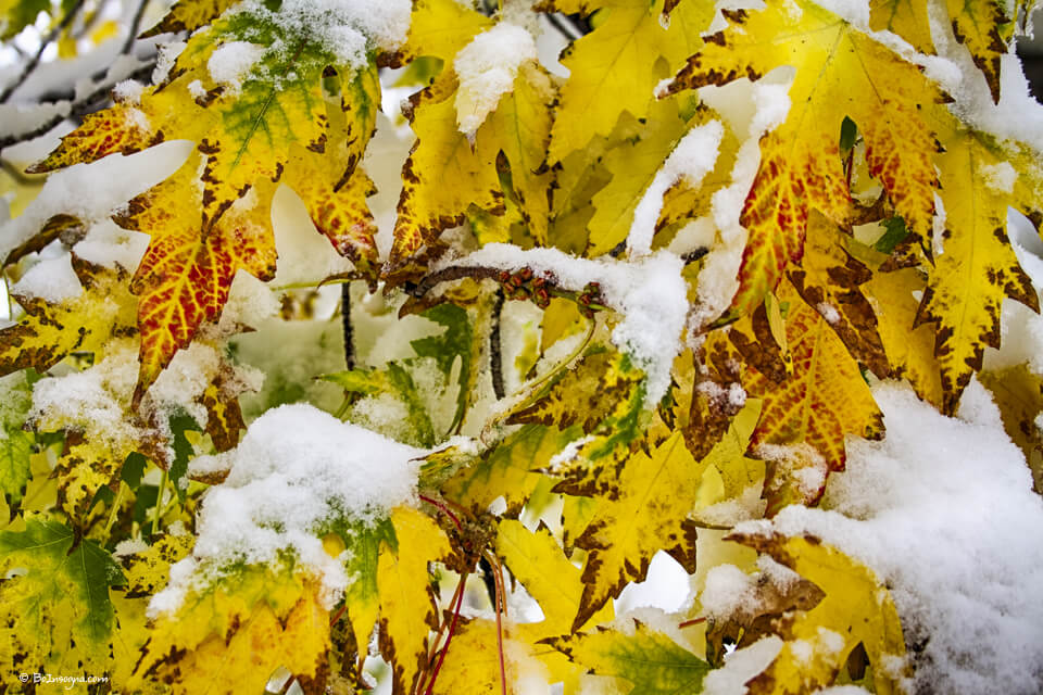 Autumn Maple Leaves in The Snow