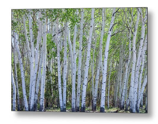White Wilderness Metal Print