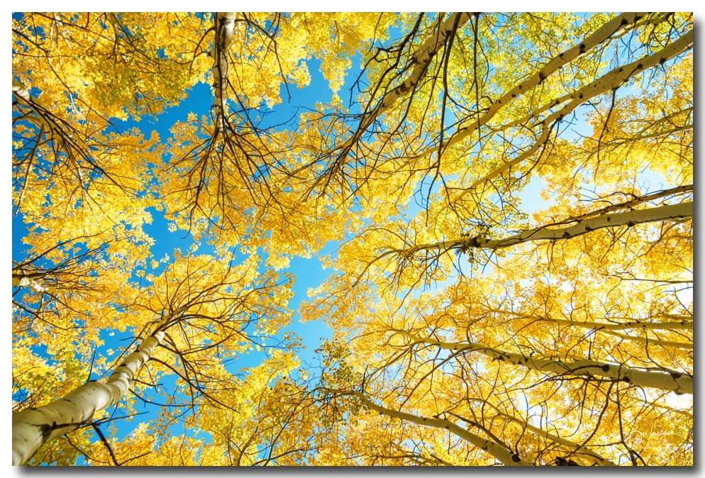 Colorado Aspen Forest